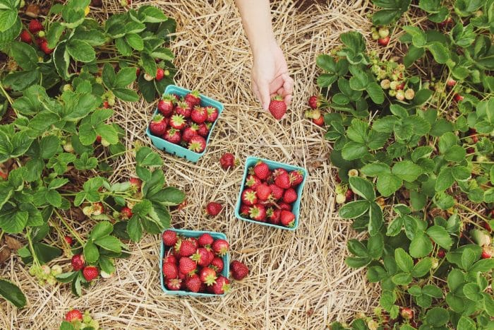 Punnets of freshly picked strawberries