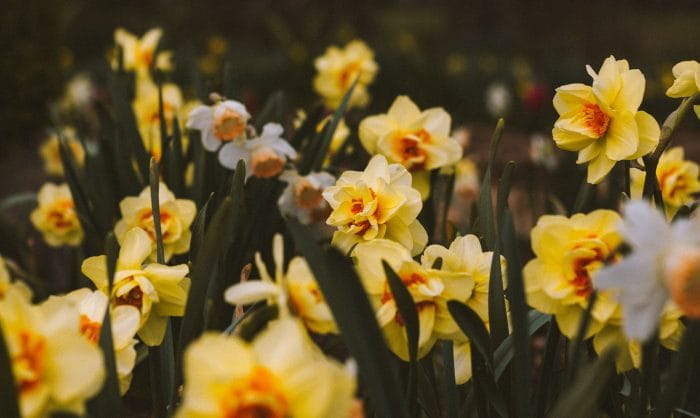 flower bed of daffodils in garden